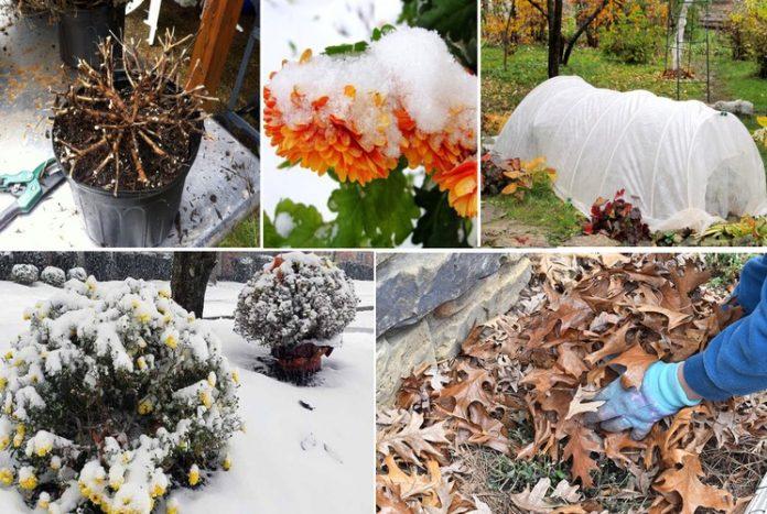 Подготовка и способы укрытия хризантемы на зиму