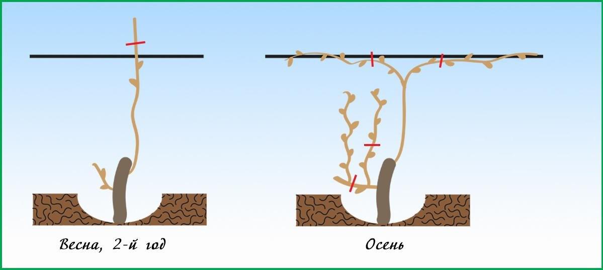 Пошаговая инструкция подвязки винограда для начинающих