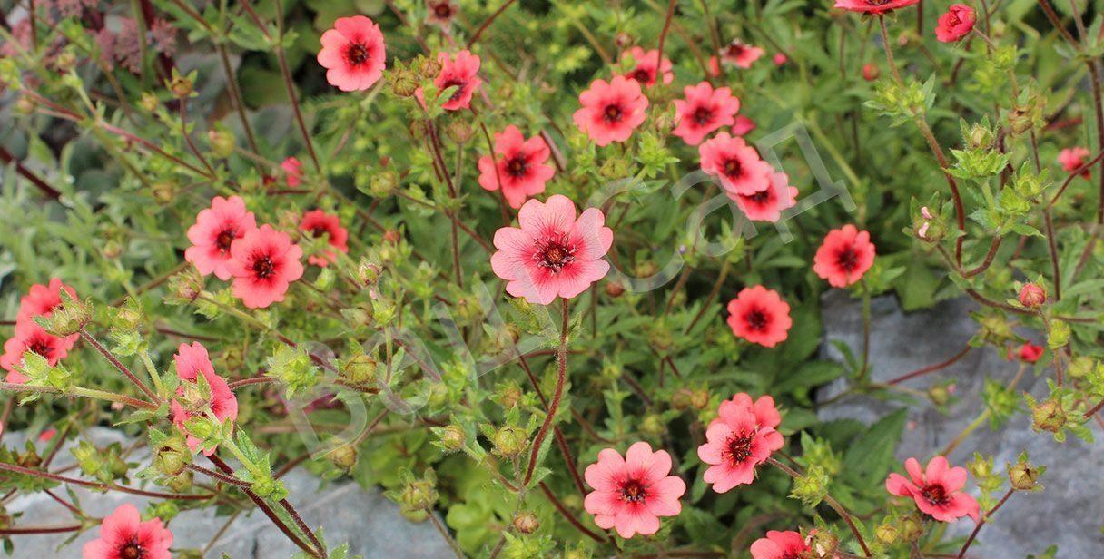 Лапчатка непальская: посадка в открытый грунт, выращивание и уход