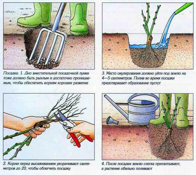 Как вырастить розы в своем саду: посадка и уход – краткая энциклопедия для начинающих садоводов (170 фото)