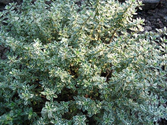 Тимьян лимоннопахнущий: характеристики, посадка, уход, выращивание