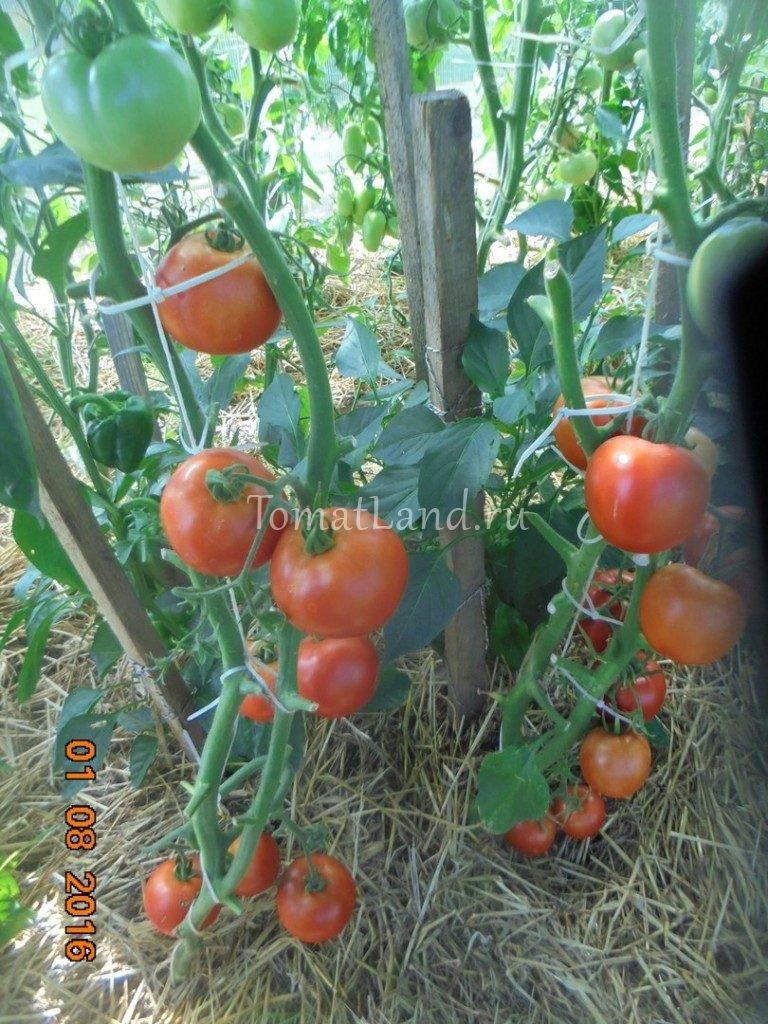Описание гибрида томат «третьяковский f1». отзывы садоводов