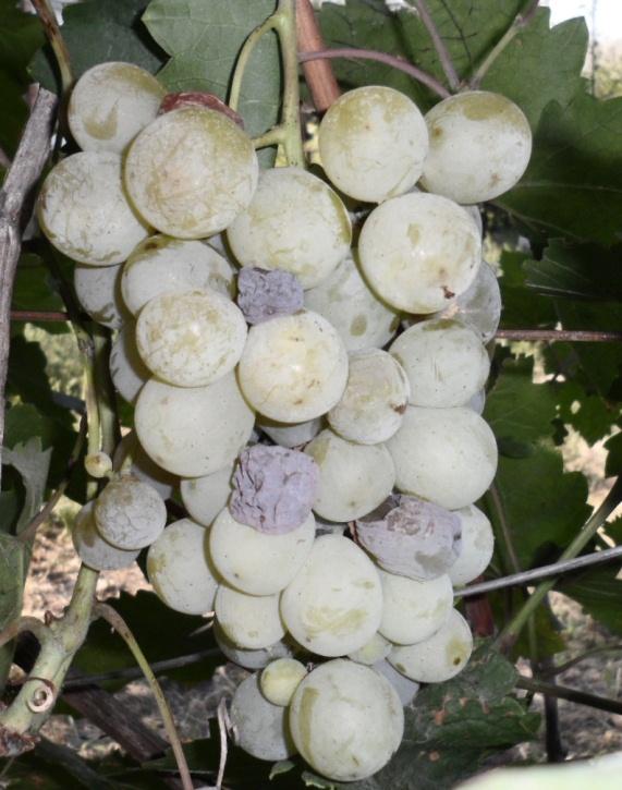 Обработка винограда весной [лучшие препараты] когда проводить - удобряшкин.ру