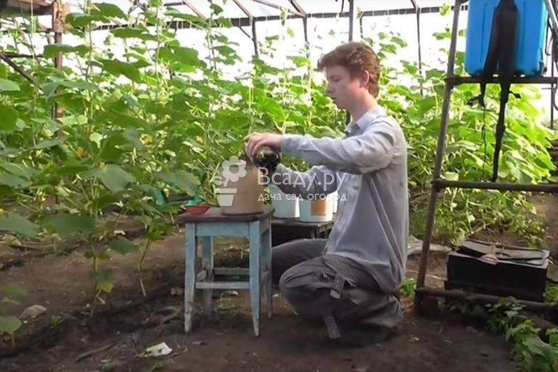 Обработка огурцов молоком с йодом — рецепт защиты от вредителей и подкормки.
