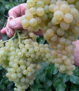 Виноград кишмиш 342: описание сорта, отзывы, фото