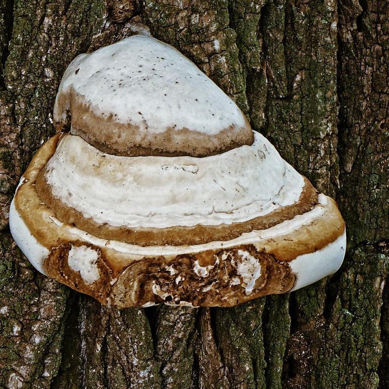Трутовик серно-жёлтый (куриный гриб): фото и описание, где растёт, лечебные свойства, систематика