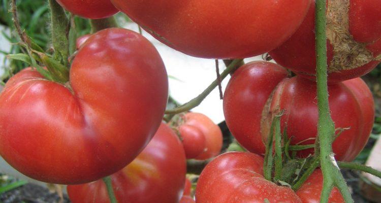 Томат мазарини: отзывы, фото, урожайность, описание сорта