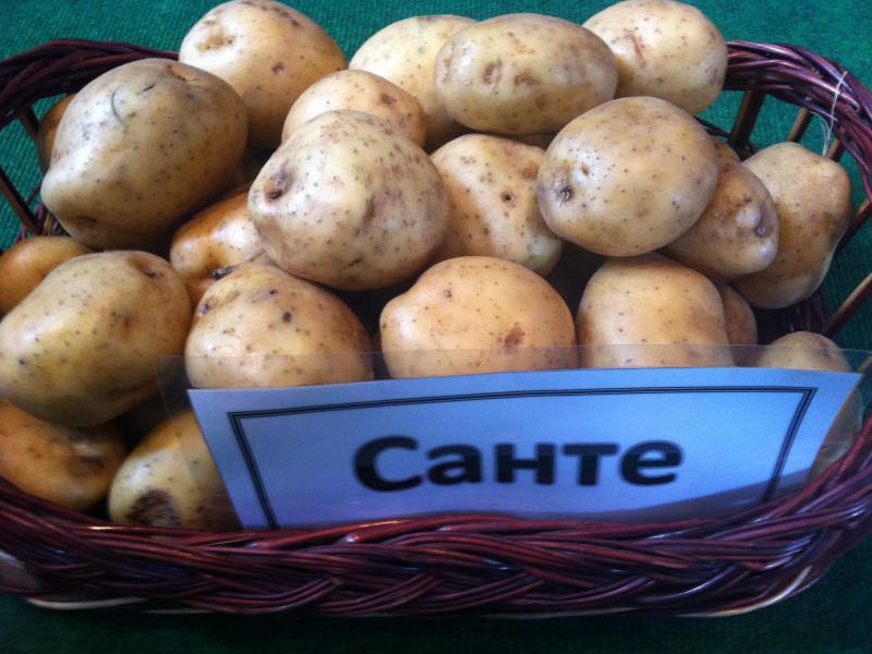 Сорт картофеля «латона» – описание и фото