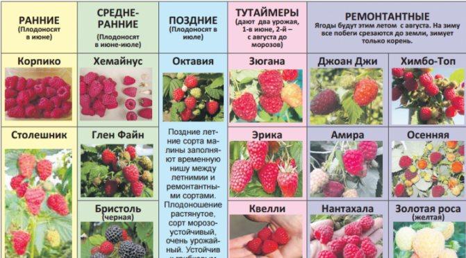 Клубника сальса — описание сорта, фото и отзывы садоводов