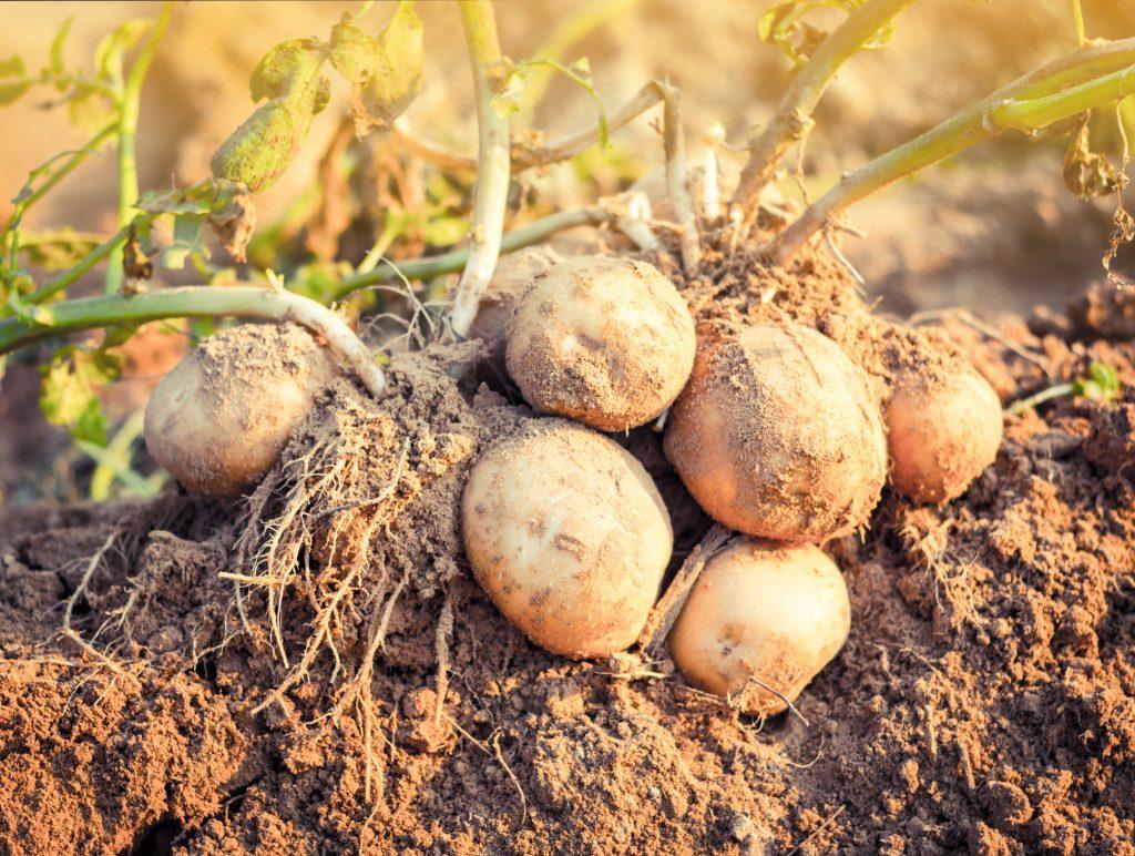 Длинные ростки у картофеля — что делать и как сажать картошку