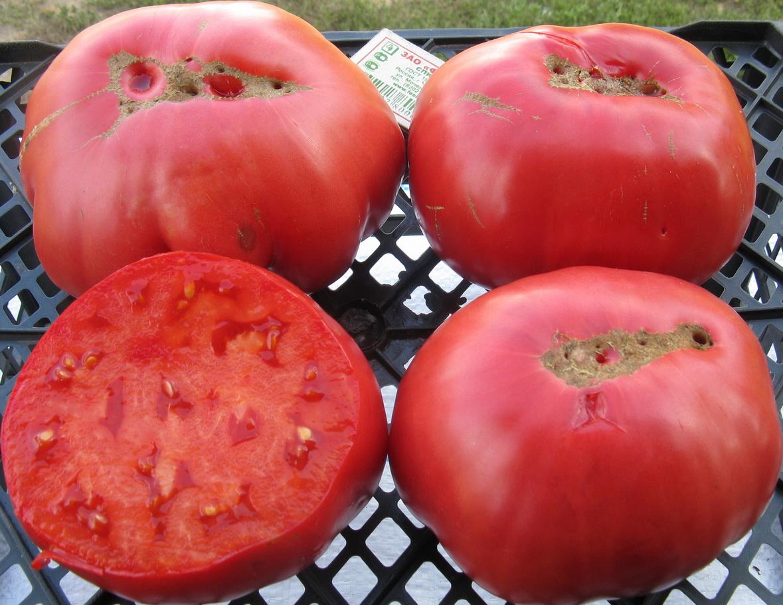 Крупноплодный томат «розовый гигант»: описание сорта, характеристика, секреты выращивания, фото помидоров
