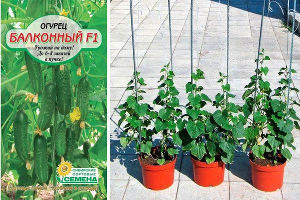 Описание комнатного огурца Балконный F1 и выращивание на окне или лоджии