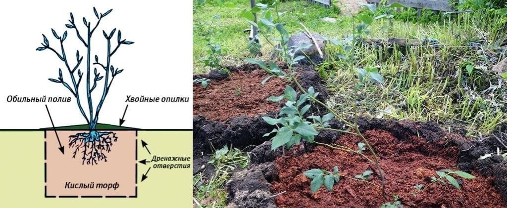 Почва для голубики садовой: какой состав нужен и как сделать своими руками
