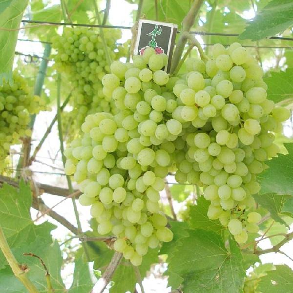 Виноград посадка и уход полив удобрение обрезка и размножение