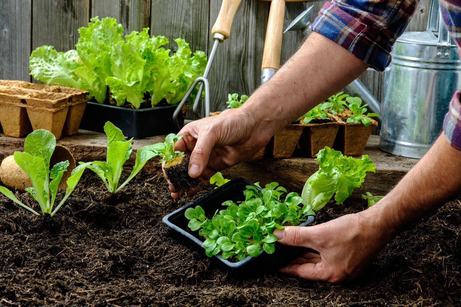 Кресс-салат: выращивание из семян в открытом грунте и рассады в домашних условиях, фото
