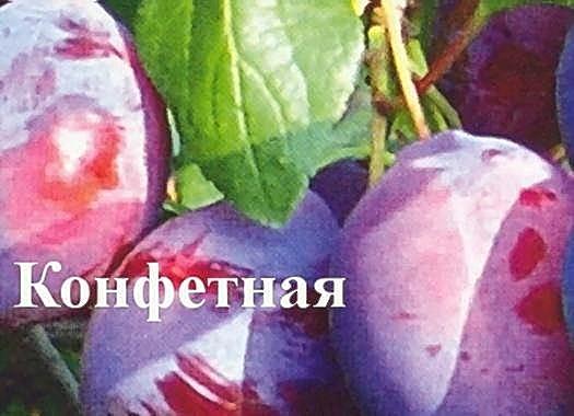 Слива стартовая — описание сорта, фото, отзывы садоводов