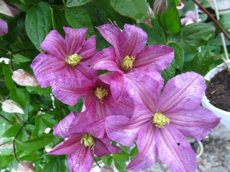 Клематис тюдор: описание, выращивание, посадка и уход + фото