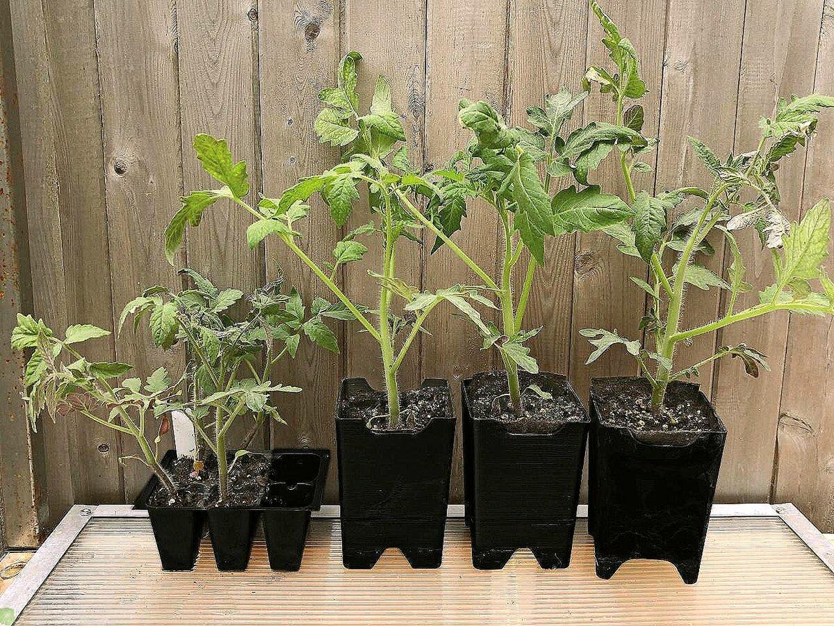 Как вырастить рассаду помидоров без пикировки в домашних условиях: пошаговая инструкция