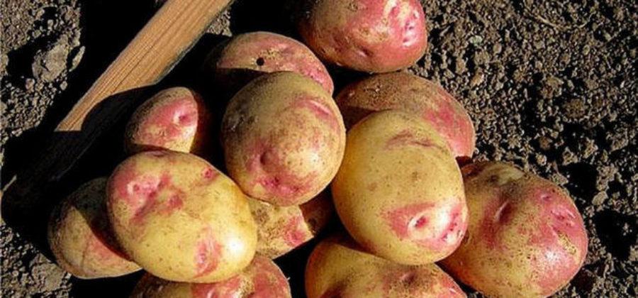 Картофель латона: характеристика и описание сорта, фото, отзывы