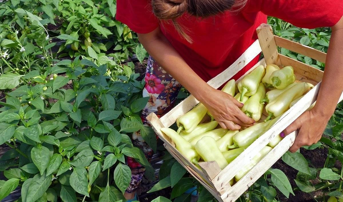 Острый перец чили: выращивание из семян в домашних условиях и на огороде, посадка и уход