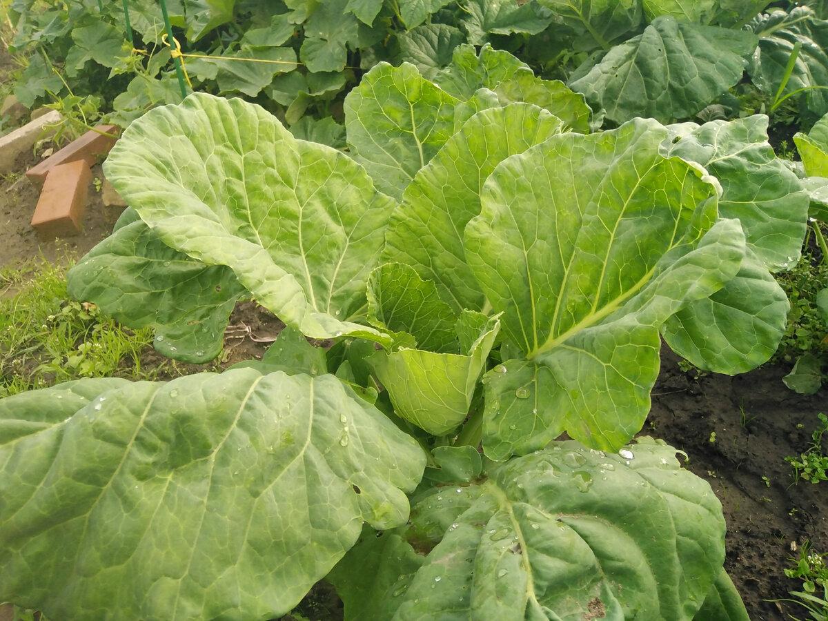 Чем полить капусту чтобы завязались кочаны   красивый дом и сад