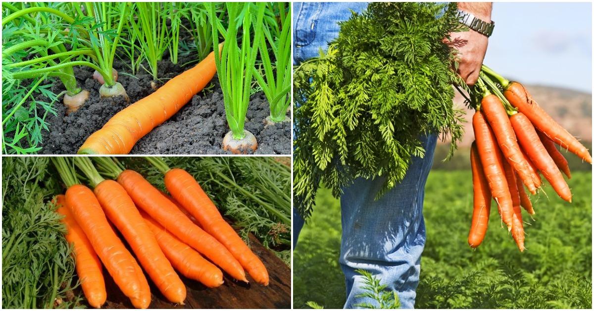 Выращивание моркови в открытом грунте, теплице на даче и под бизнес: все секреты агротехники, ухода и подкормки, а также какие соблюдать правила для хорошего урожая? русский фермер