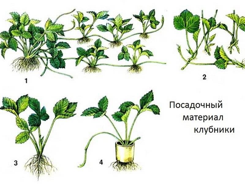Посадка клубники, когда и как это правильно делать, а также особенности проведения в подмосковье, сибири, краснодарском крае