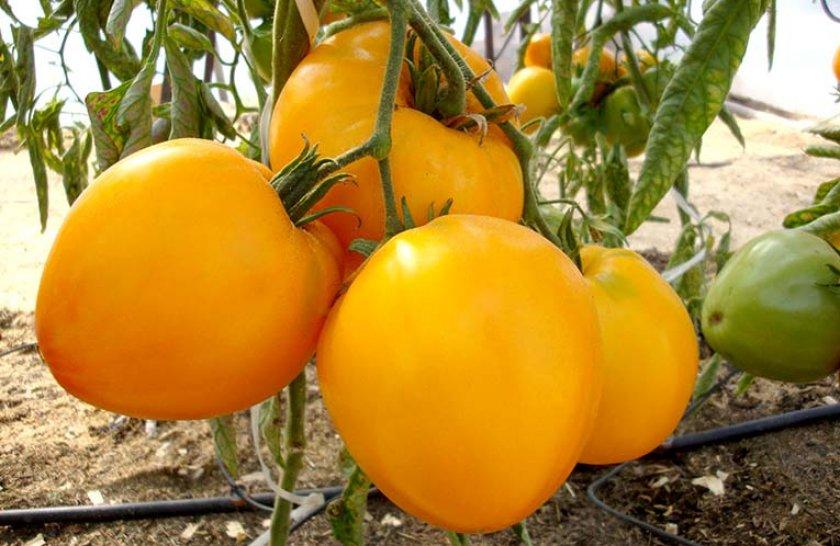 Новые сорта томатов на 2021 год - выбираем лучшее! | красивый дом и сад