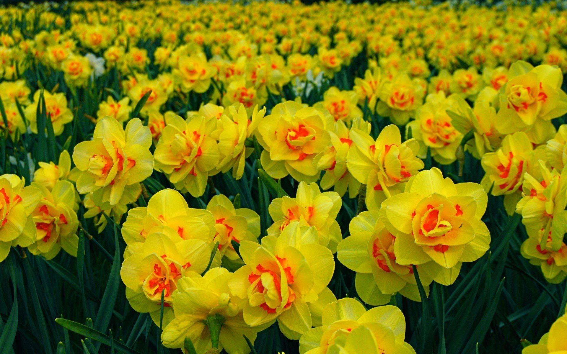 Нарциссы: сорта. большой перечень, правила выращивания