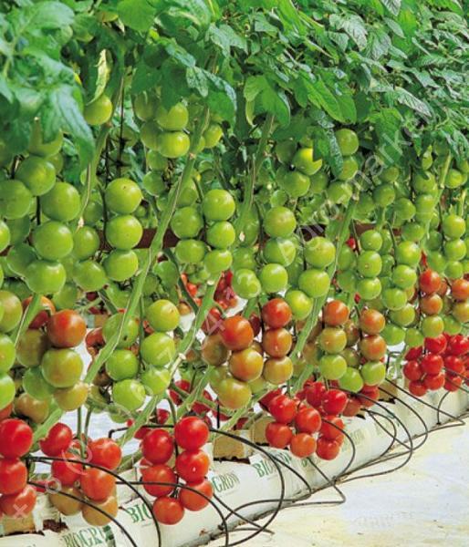 Выращивания томатов нагидропонике: вногу современем или чем примечателен метод