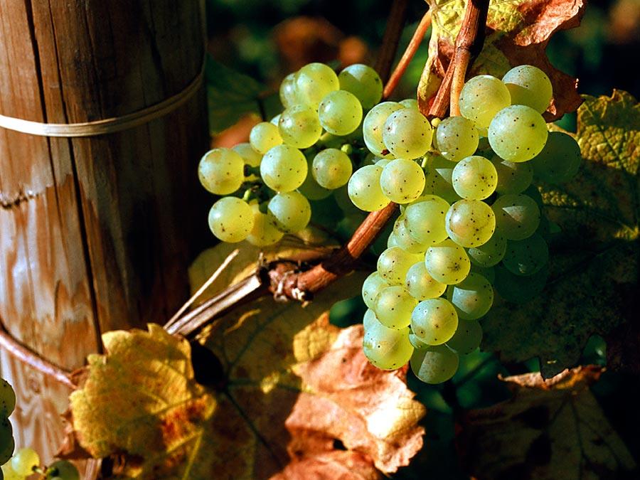 Виноград рислинг: описание сорта, его фото и характеристики. selo.guru — интернет портал о сельском хозяйстве