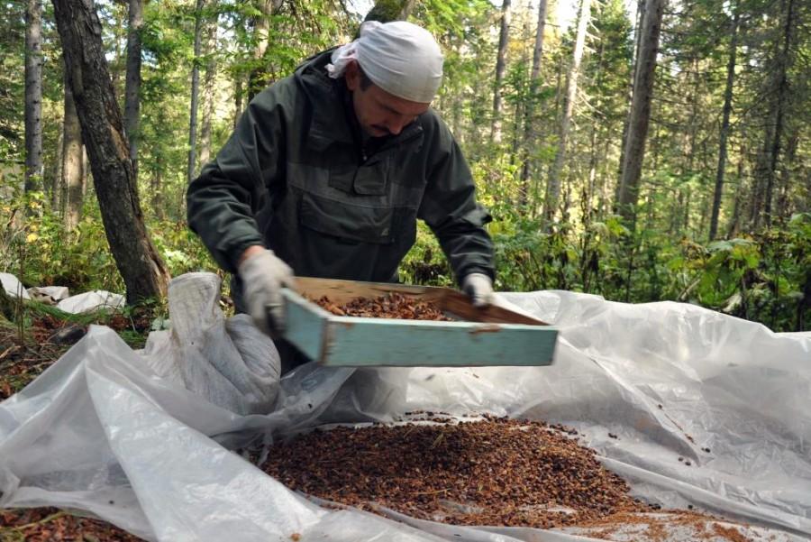 Как собирают кедровые орехи: когда собирают шишки, способы сбора