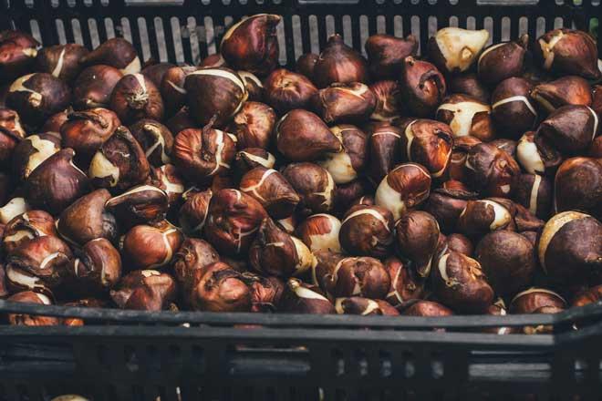 Как хранить луковицы тюльпанов зимой: этапы работ и условия