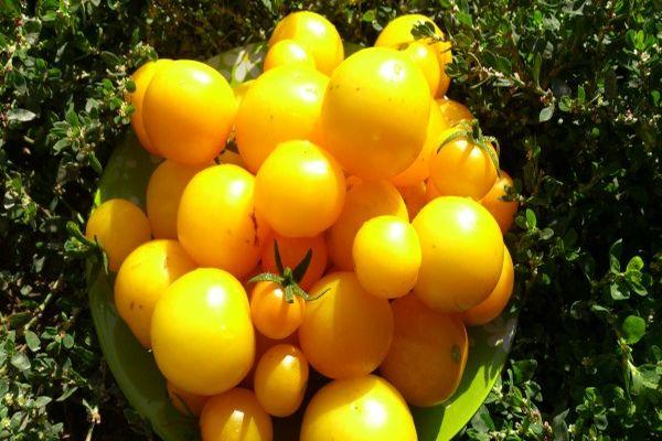 Сорта абрикос для средней полосы росси: алеша, выносливый, чашечка и снегирек, видео