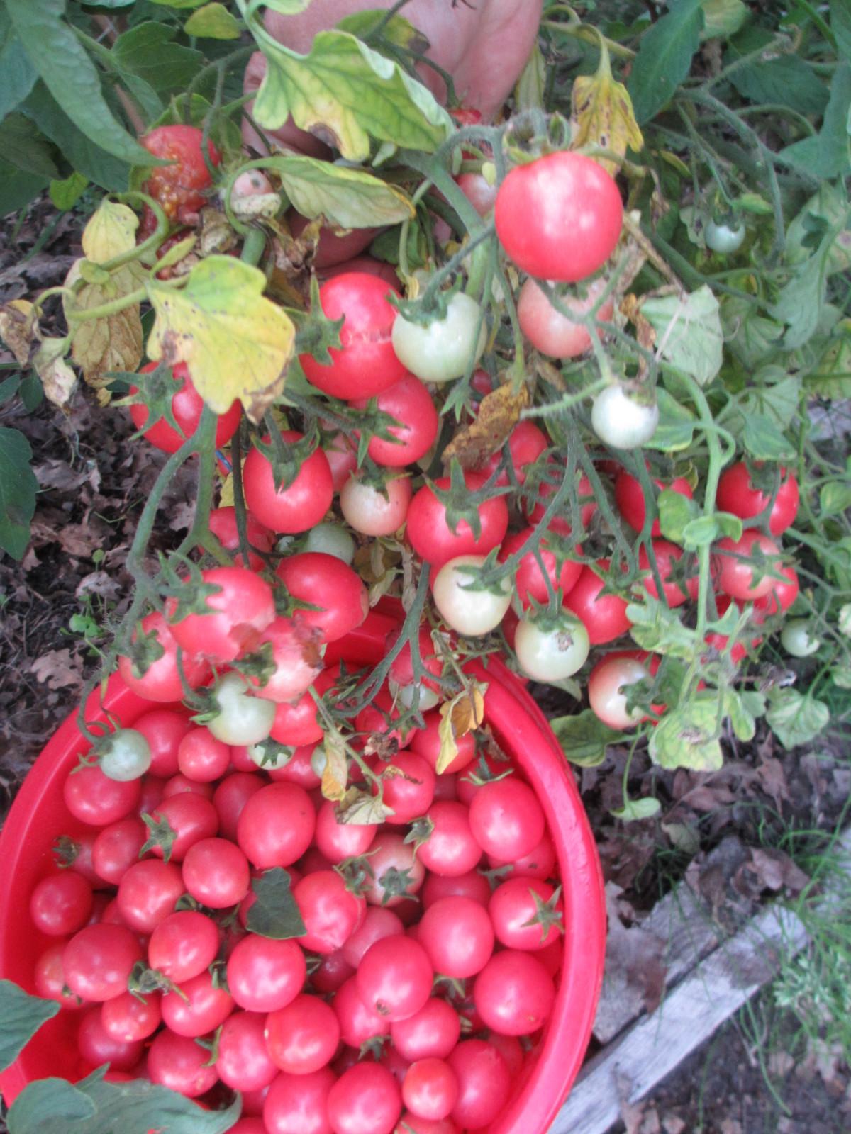 """ᐉ томат """"розовая жемчужина"""": описание сорта помидора с фото - orensad198.ru"""