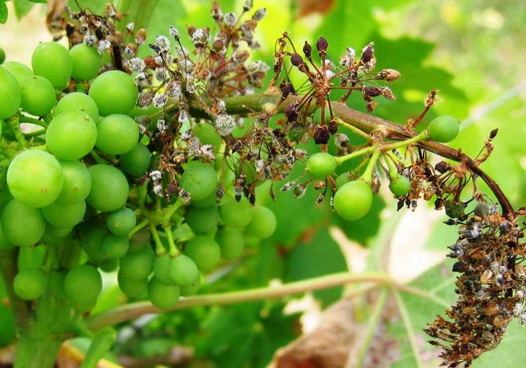 Все основные болезни винограда: профилактика и их лечение