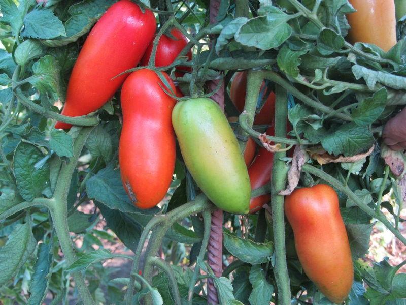Описание и выращивание томата «банан красный» для открытого грунта