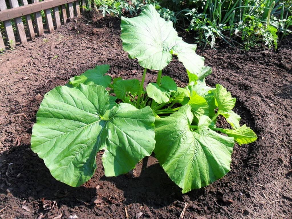 Патиссон: выращивание из семян рассадой, посадка и уход в открытом грунте, фото