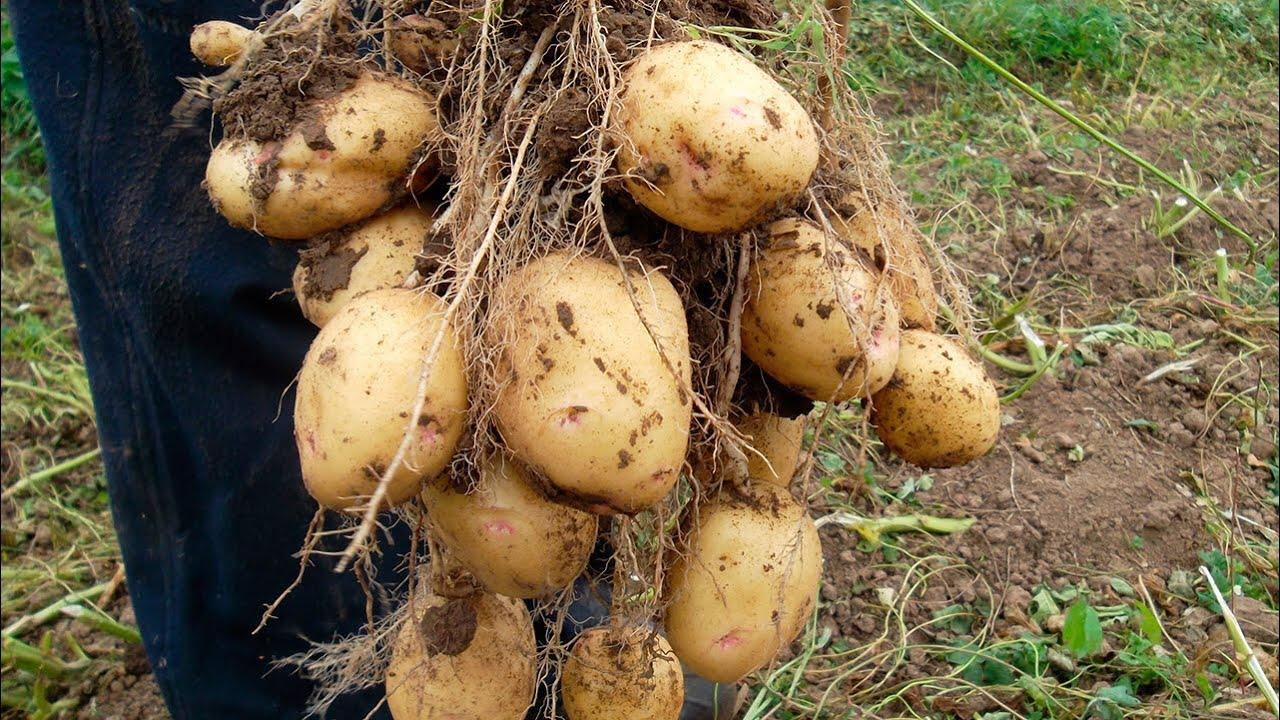 Картофель палац: описание сорта, характеристика и фото клубней, отзывы дачников со стажем