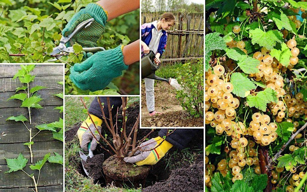 Виноград софия: описание сорта, отзывы садоводов и 6 правил ухода