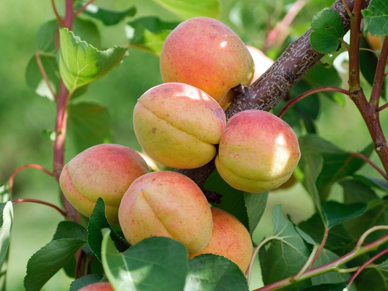 Сорт абрикоса чемпион севера, описание, характеристика и отзывы