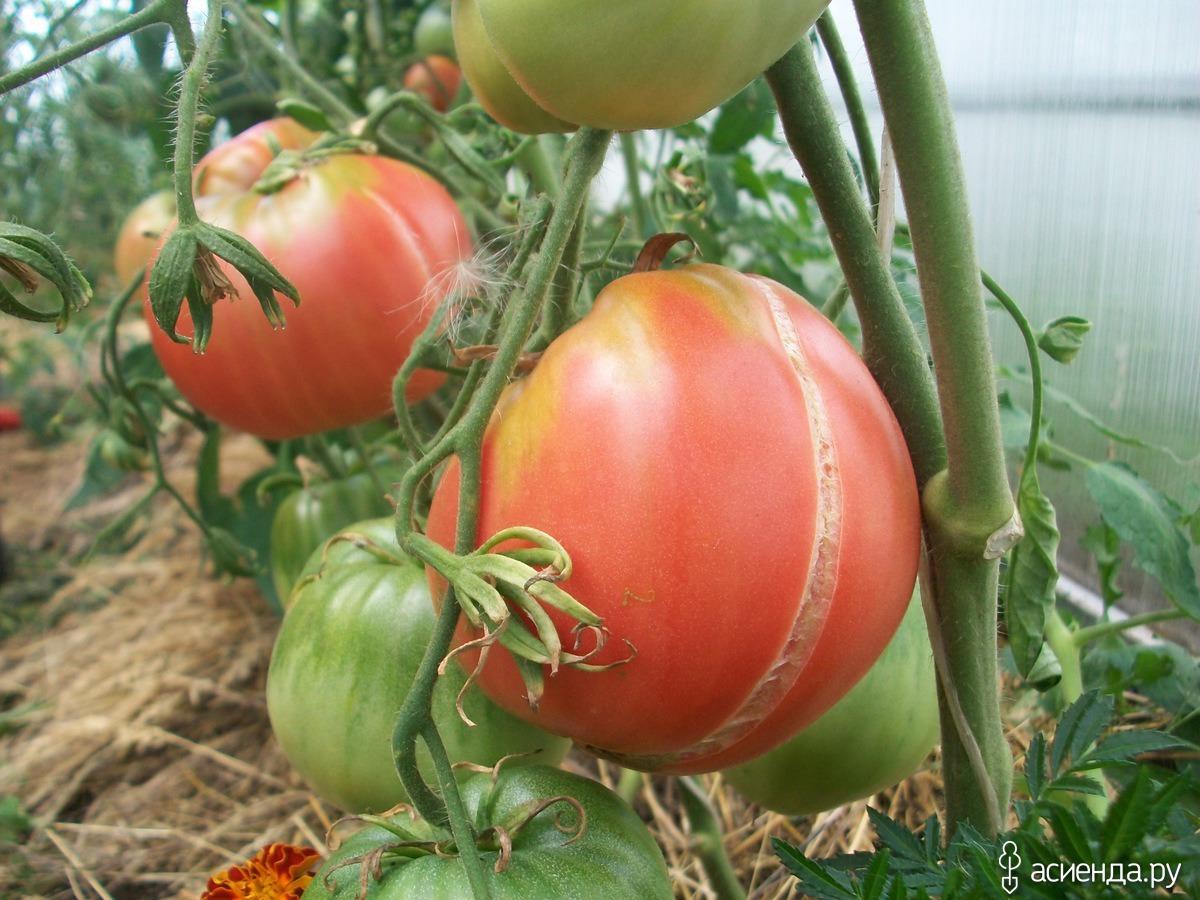 Почему помидоры трескаются в теплице при созревании на кусту