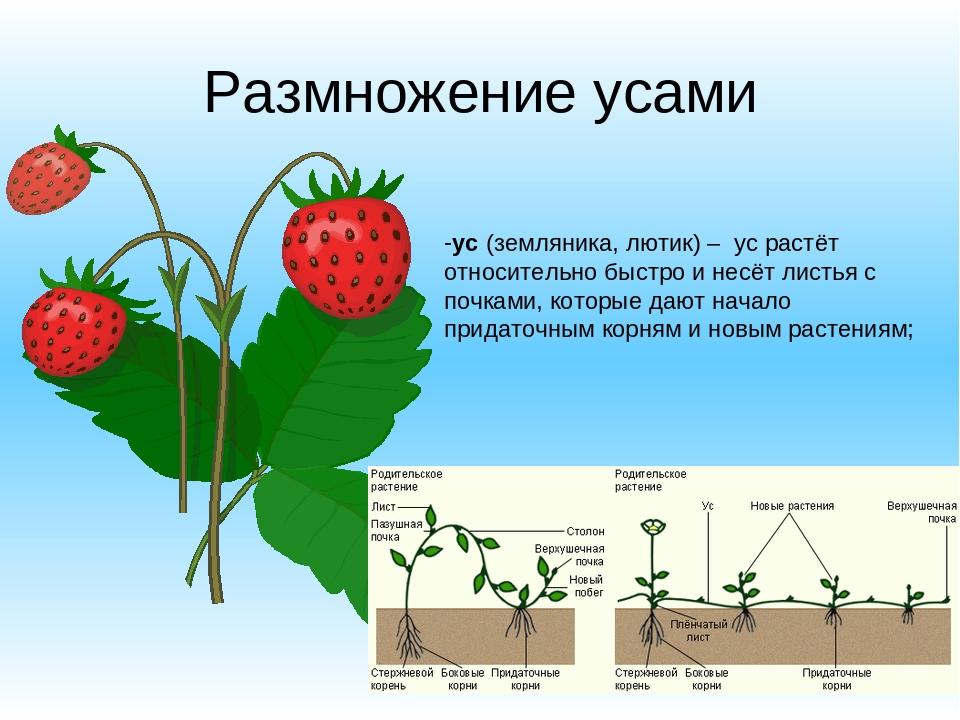 Описание сорта клубники Холидей, выращивание и методы размножения