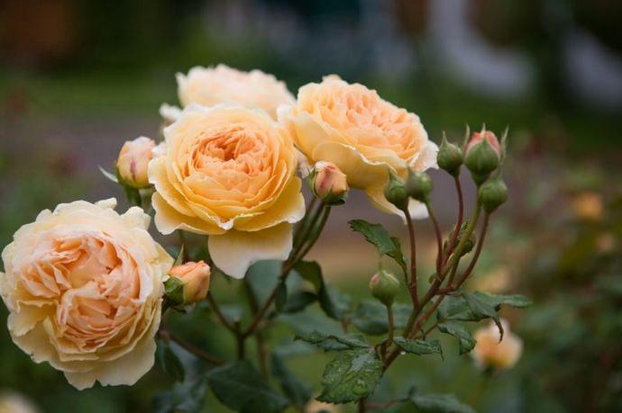 Кустовая пионовидная роза: что это за сорта цветка, как выглядят и называются