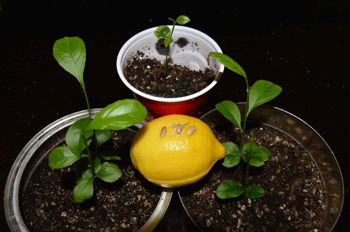 Как можно вырастить апельсиновое дерево в домашних условиях, посадка и уход