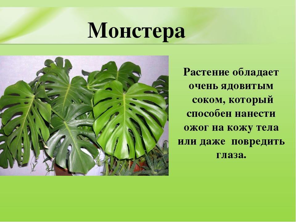 Монстера monstera - виды, уход, полив, пересадка, вредители, проблемы выращивания