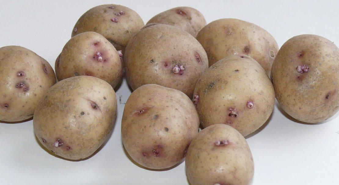 Картофель петрович: характеристика, вкусовые качества, правила выращивания