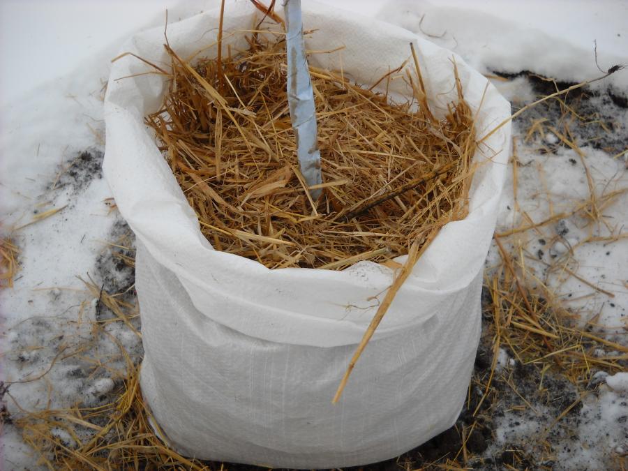 Как подготовить к зиме колоновидную яблоню и укрыть ее от морозов