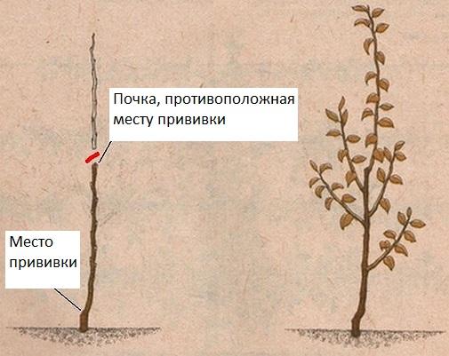 Технология выращивания сортов колоновидной груши