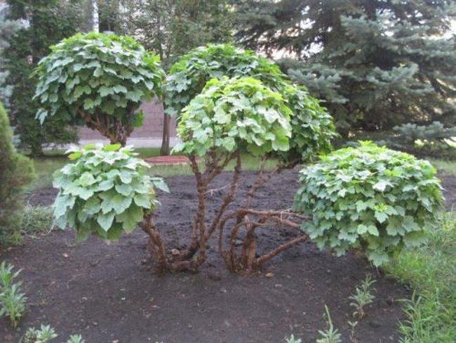 Плодовые сорта калины. названия с описаниями и фото — ботаничка.ru